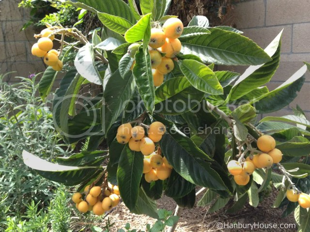 Big Jim Loquat a few weeks before harvesting