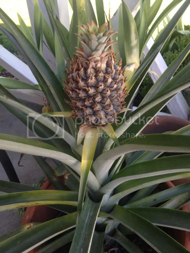 Developing fruit on pineapple can you grow at home from cutting top off pot