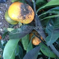 Black Sooty Mold on Citrus