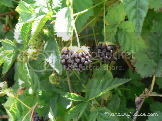 Black berry low chill variety no thorn less easy to grow
