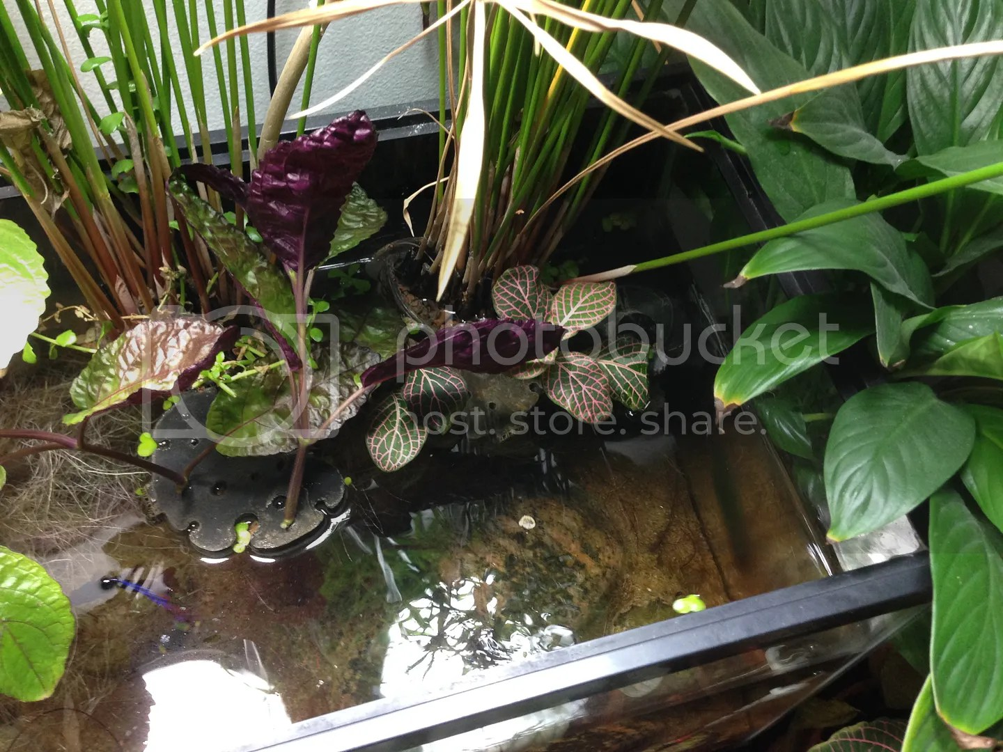 Serene And Since A Lazy Roots Have Taken Over Seem To G Riparium Ape Aquatic Plant Enthusiasts A Planted Aquarium Purple Waffle Plant Propagation Purple Waffle Plant Air Purifier houzz-03 Purple Waffle Plant