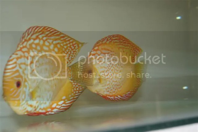 discus fish in Aquarium Classifieds. FOR SALE. Forum