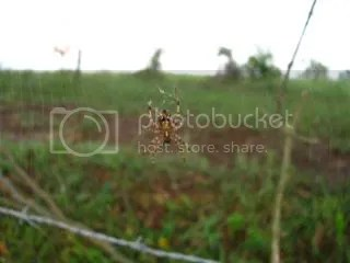 These spiders and their webs were everywhere along a fence line with a lot of tree growth.
