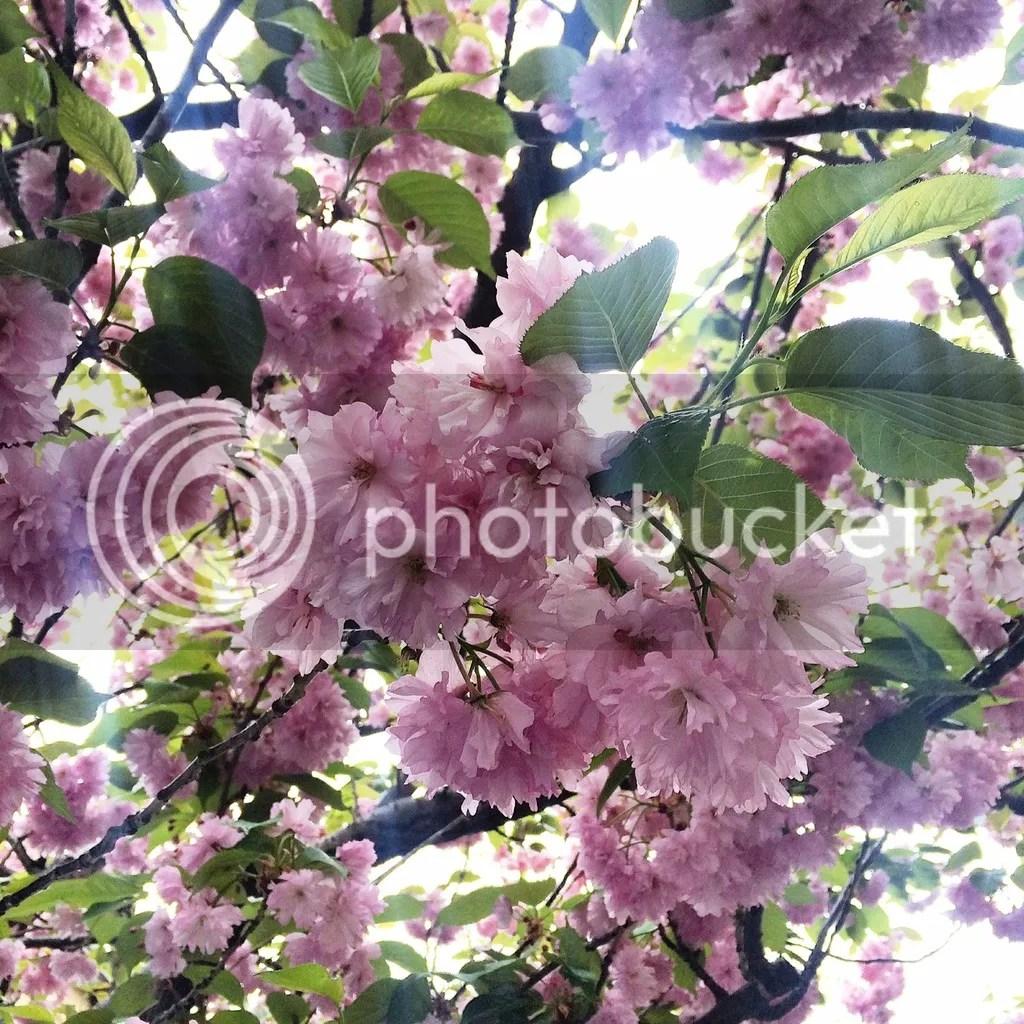 Cherry Blossoms Jersey City