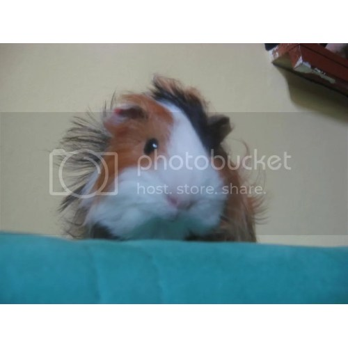 Medium Crop Of Guinea Pig Forum