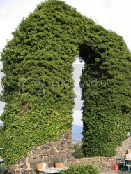 Ivy covered arch, Rolandsbogen