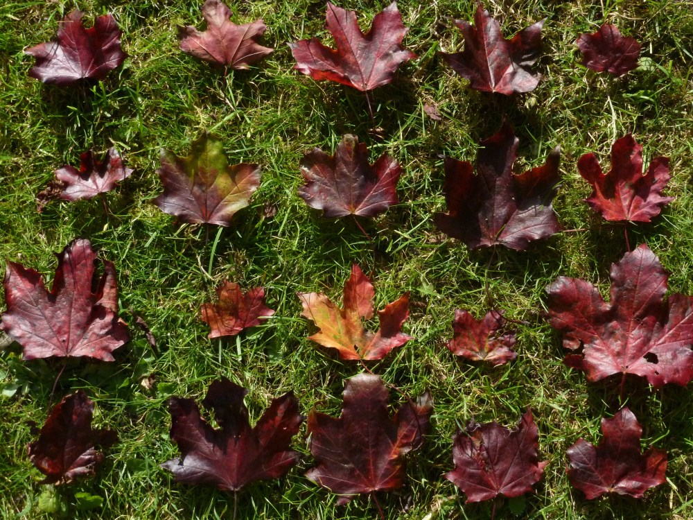 Red Maple Leaf Matrix