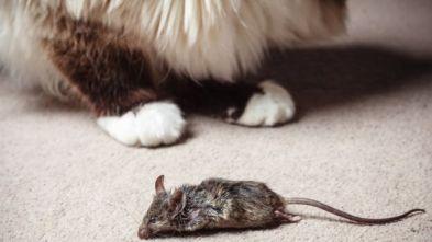 Un gato con un ratón