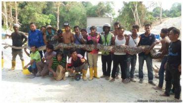 Una pitón capturada en Malasia