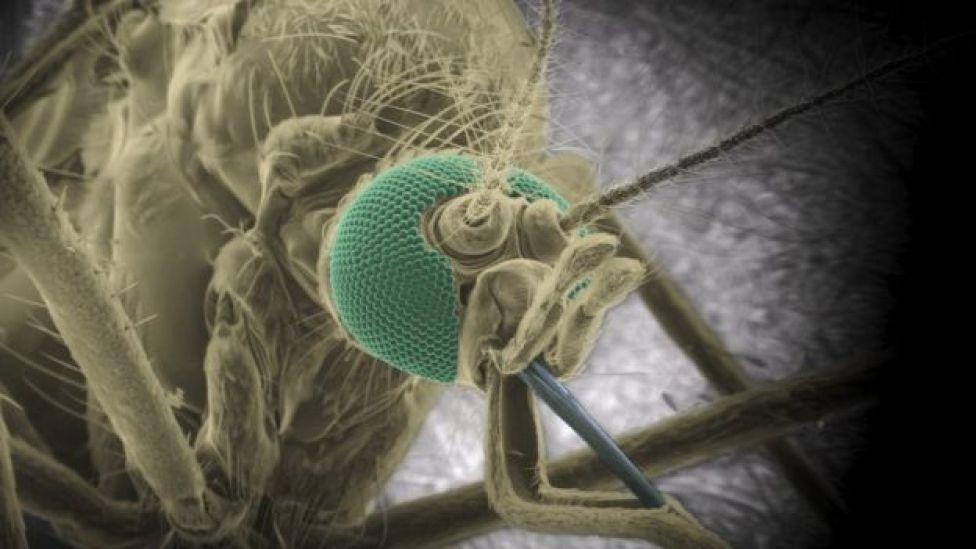 Aedes aegypti mosquito,