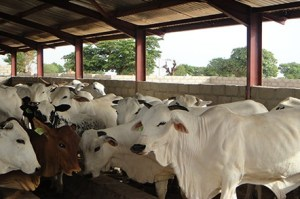 fg-to-establishe-ranches-grazing-reserves-across-the-country