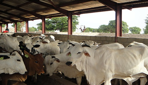 FG To Establish Ranches, Grazing Reserves Across The Country