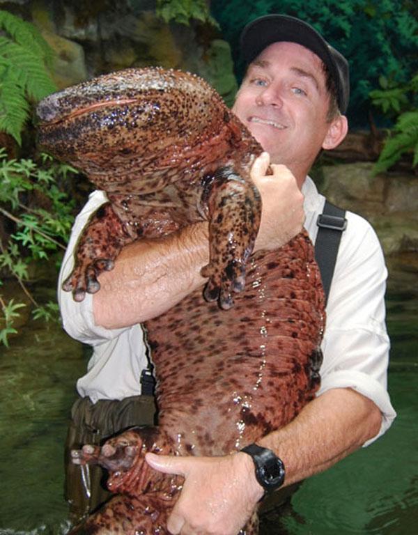 Salamandra gigante chinesa