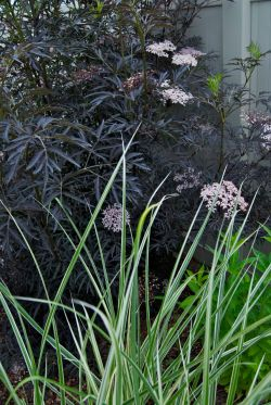 Small Of Black Lace Elderberry