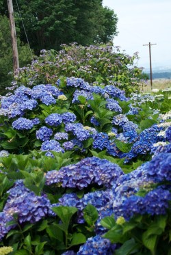Small Of Twist And Shout Hydrangea