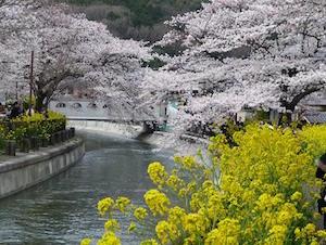 京都 桜 花見 名所 穴場 スポット8