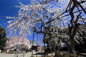 和歌山県 桜 穴場 名所 2016 花見 スポット 4
