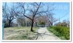 生野東公園 桜