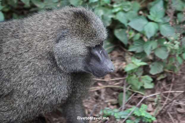 Baboon in Lake Manyara, Tanzania during safari