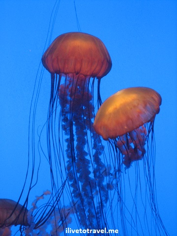 aquarium, jellyfish, jelly fish, Georgia Aquarium, blue, orange