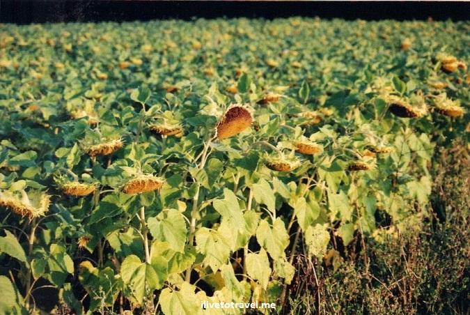 sunflower, Bordeaux, France, travel, photo