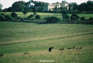 Kangaroo, Australia, Melbourne, Great Ocean Road, wildlife, tour,