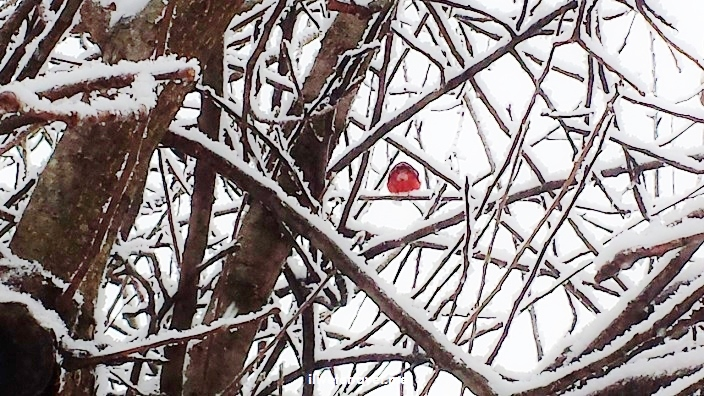 cardinal, Atlanta, tree, snow, winter, photo, Samsung Galaxy