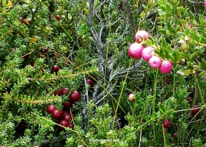 Chile, Patagonia, Torres del Paine, W circuit, hiking, trekking, travel, photo, wild berries,Samsung Galaxy