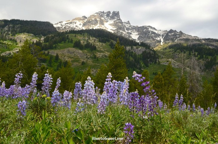Grand Teton National Park, Wyoming, Grand Tetons, outdoor, nature, flowers, mountain, travel, hiking, lupine