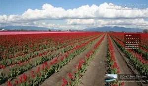 Free Wallpaper – Skagit Valley Tulip Festival