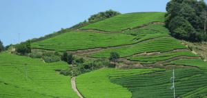 宇治茶の郷 和束の茶畑の画像