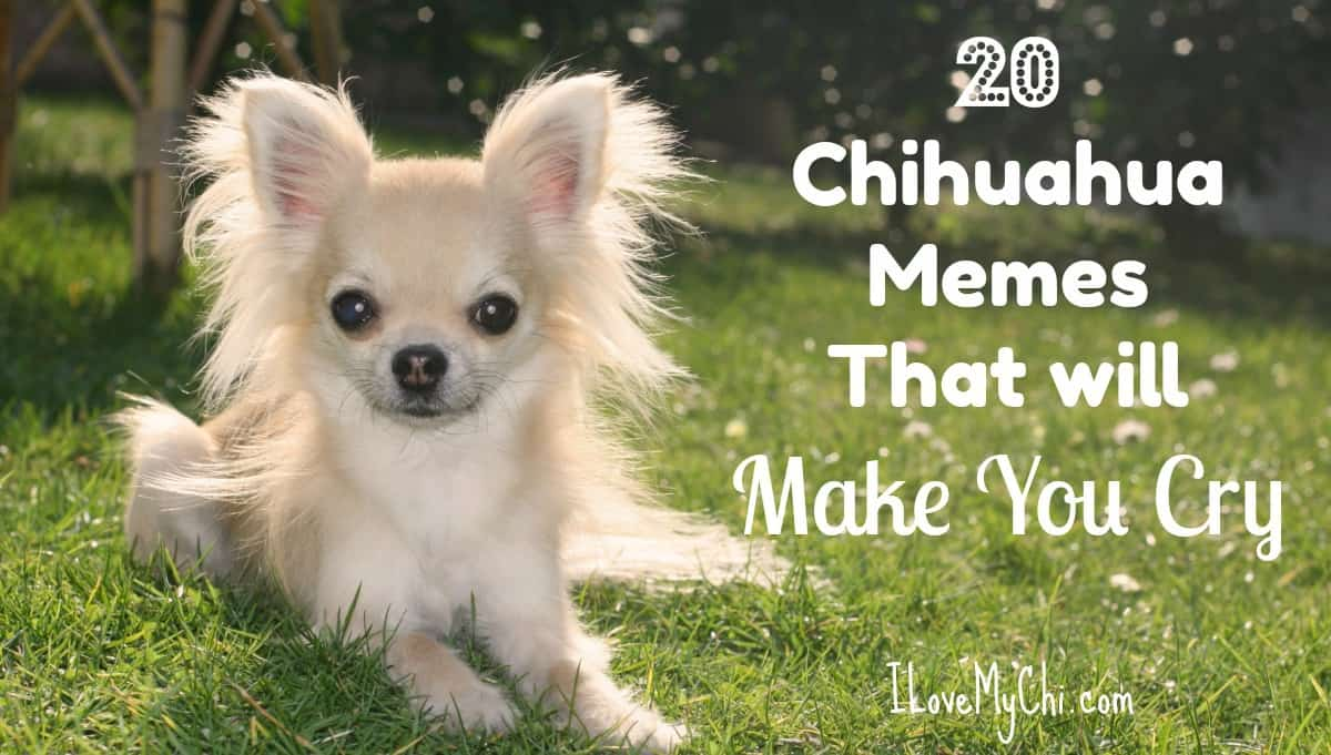 Attractive Emotion 20 Chihuahua Memes That Will Make You Cry P Can Dogs Cry Reddit Can Dogs Cry bark post Can Dogs Cry