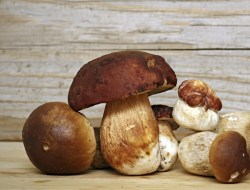 Mushroom Boletus over Wooden Background. Autumn Cep Mushrooms picking.