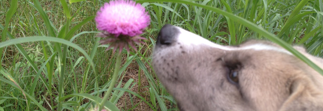 Dog and Thistle