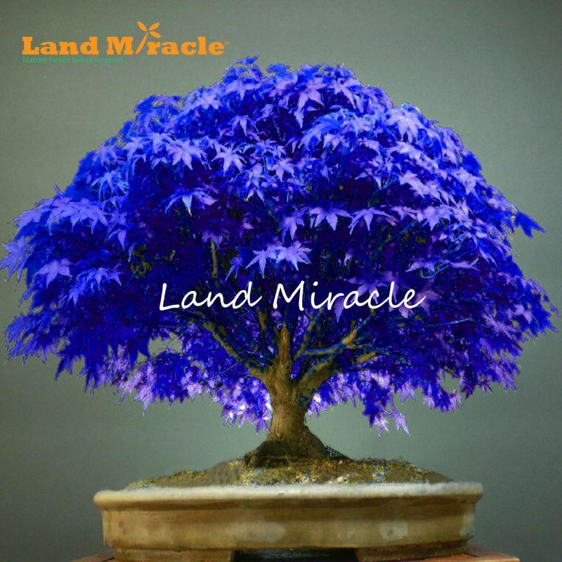 Large Of Blue Maple Tree