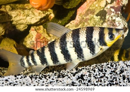 Black And White Striped Freshwater Aquarium Fish Yellow black striped