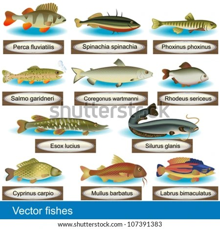 Illustration Of Different Kind Of Fishes, Along With Their Latin Names
