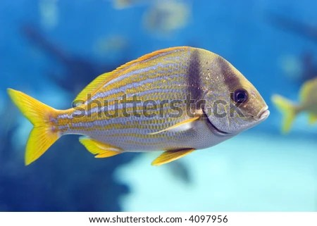 Closeup Of A Striped Yellow Tail Fish Stock Photo 4097956
