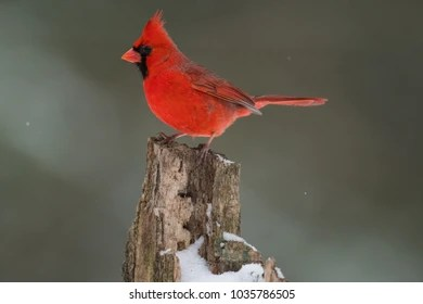 Cardinal Bird Images  Stock Photos   Vectors   Shutterstock Northern cardinal perched on a small tree stump in winter