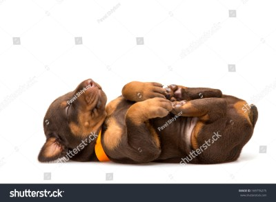 Funny Puppy Sleeping Upside Down Isolated Stock Photo 169776275 - Shutterstock