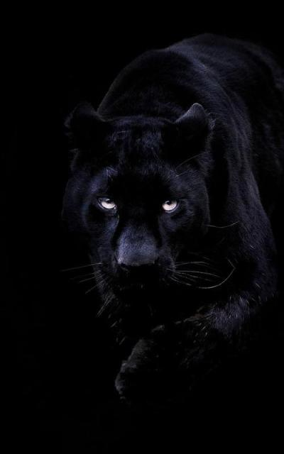 Black Panther Live Wallpaper APK Download - Free Personalization APP for Android | APKPure.com