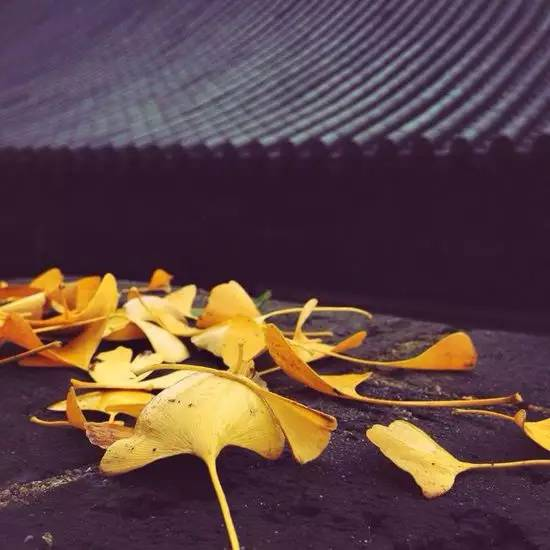 Chinese ginkgo tree920