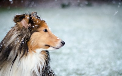 Rough Collie HD Wallpaper | Background Image | 1920x1200 | ID:458827 - Wallpaper Abyss