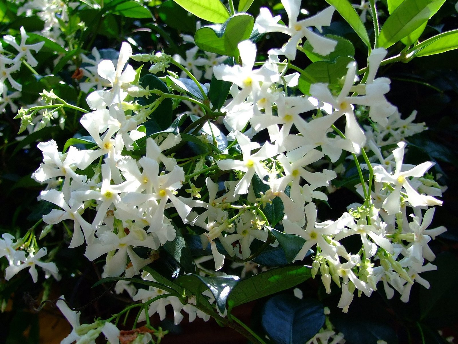 Fullsize Of Star Jasmine Vine