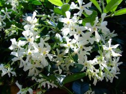 Small Of Star Jasmine Vine