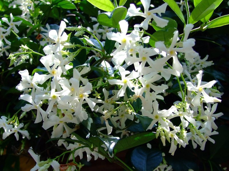 Large Of Star Jasmine Vine
