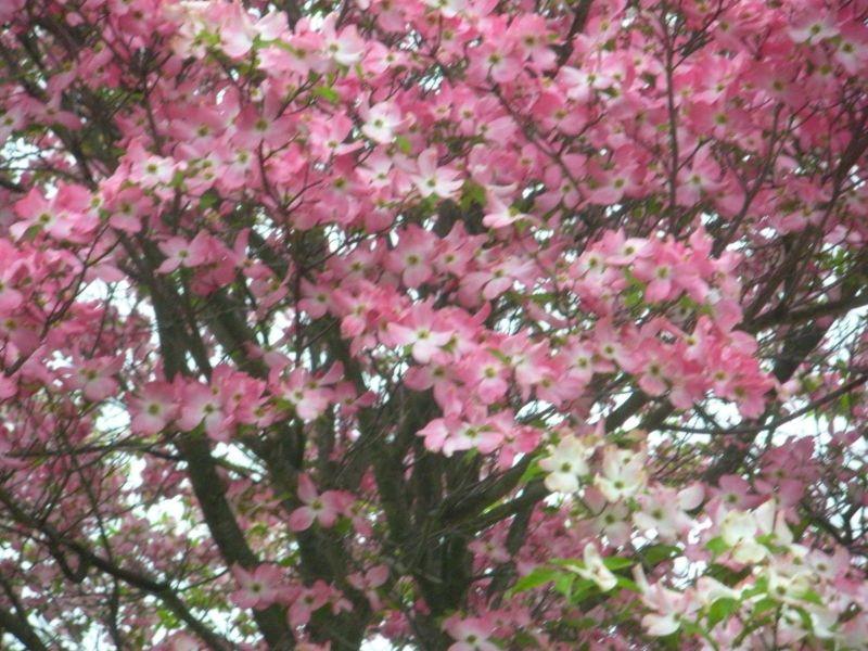 Large Of Pink Dogwood Tree