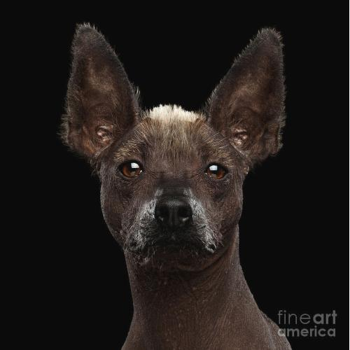 Medium Crop Of Hairless Dog Breeds