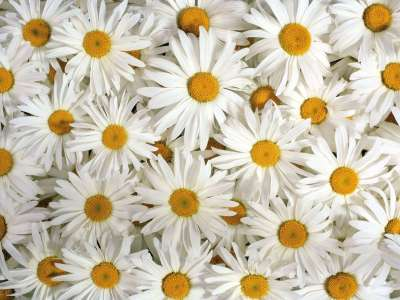 22+ Daisy Flower Wallpapers, Flower Backgrounds, Images, Pictures | FreeCreatives