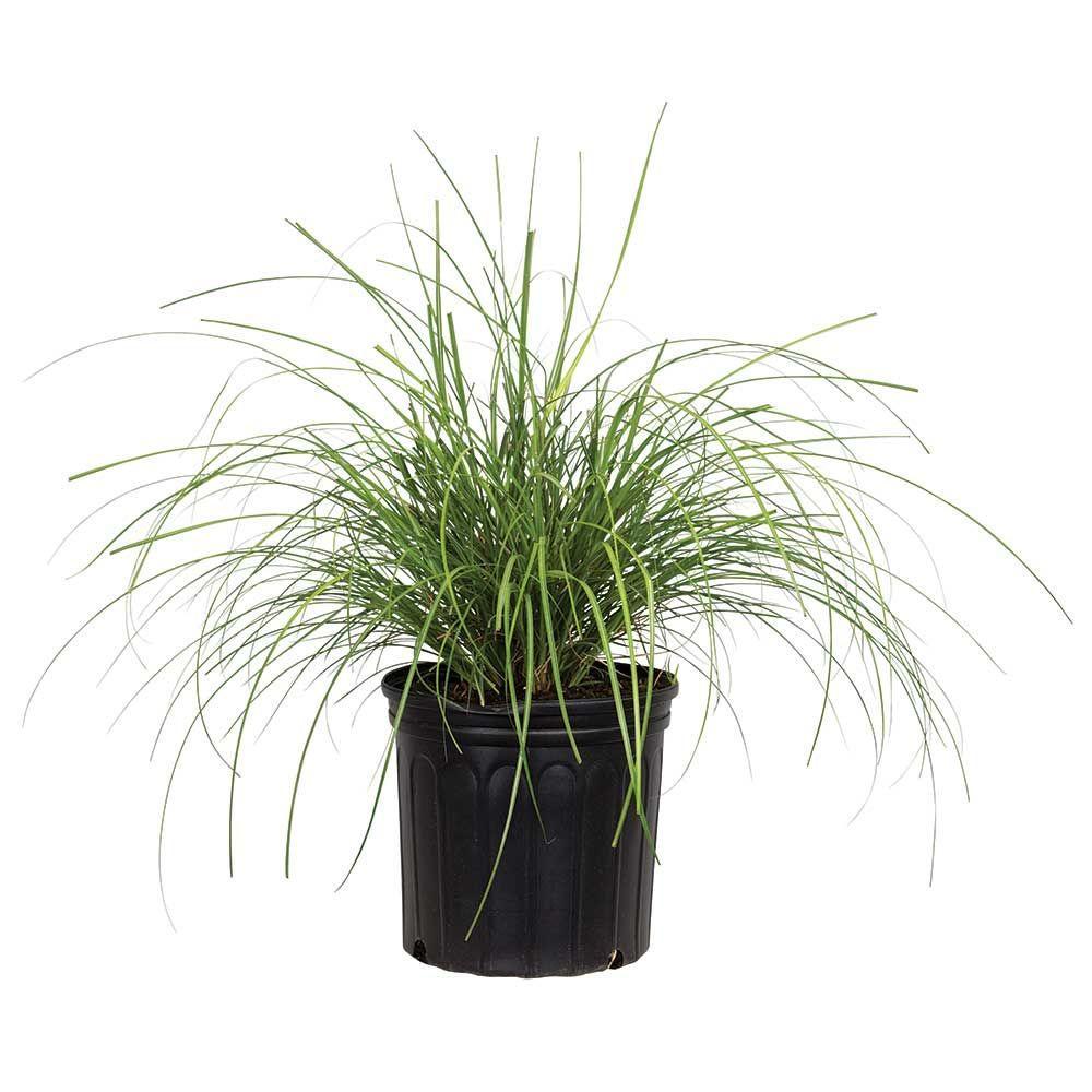 Fullsize Of Japanese Silver Grass